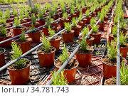 Pots with rosemary seedlings in glasshouse. Стоковое фото, фотограф Яков Филимонов / Фотобанк Лори