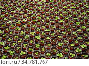 Rows of houseplant seedlings. Стоковое фото, фотограф Яков Филимонов / Фотобанк Лори