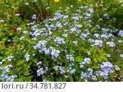 Natural background of forget-me flowers. Стоковое фото, фотограф Евгений Ткачёв / Фотобанк Лори