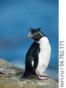 Rockhopper penguin (Eudyptes chrysocome) at Saunders Island, Falkland Islands. Стоковое фото, фотограф Jeff Vanuga / Nature Picture Library / Фотобанк Лори