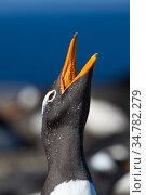 Gentoo penguin (Pygoscelis papua) West Point, Falkland Islands. Стоковое фото, фотограф Jeff Vanuga / Nature Picture Library / Фотобанк Лори