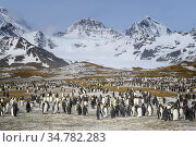 King penguin (Aptenodytes patagonicus) adult and juvenile St. Andrew's Bay colony , South Georgia Island, Antarctica. Стоковое фото, фотограф Jeff Vanuga / Nature Picture Library / Фотобанк Лори
