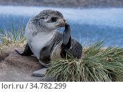 Southern fur seal (Arctocephalus forsteri) Ocean Harbor, South Georgia Island, Antarctica.. Стоковое фото, фотограф Jeff Vanuga / Nature Picture Library / Фотобанк Лори