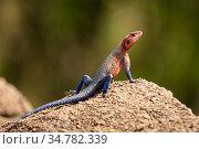 Agama lizard (Agama agama) sunning on a rock in the Serengeti Plains, Tanzania. Стоковое фото, фотограф Jeff Vanuga / Nature Picture Library / Фотобанк Лори