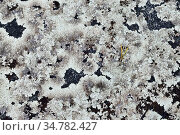 Beautiful lichen on a granite stone. Karelia, Russia. Стоковое фото, фотограф Сергей Трофименко / Фотобанк Лори