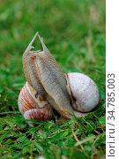 Two Roman snails (Helix pomatia) in copulation zwei Weinbergschnecken... Стоковое фото, фотограф Zoonar.com/Eric Hepp / easy Fotostock / Фотобанк Лори