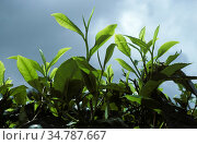 Young tea leaves, the picked stage of the crop, in the estates of the CDameron Highlands, Malaysia, February. Стоковое фото, фотограф Nigel Cattlin / Nature Picture Library / Фотобанк Лори