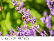 bee pollinating lavender flowers in summer garden. Стоковое фото, фотограф Syda Productions / Фотобанк Лори