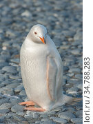 Gentoo Penguin (Pygoscelis papua) albino, Salisbury Island, South Georgia. Стоковое фото, фотограф Jeff Foott / Nature Picture Library / Фотобанк Лори