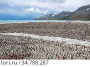 King Penguin (Aptenodytes patagonicus) colony next to river, at Salisbury Plain, South Georgia. Стоковое фото, фотограф Jeff Foott / Nature Picture Library / Фотобанк Лори