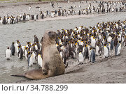 Southern elephant seal (Mirounga leonina) and King penguin (Aptenodytes patagonicus) colony at Salisbury Plain, South Georgia. Стоковое фото, фотограф Jeff Foott / Nature Picture Library / Фотобанк Лори