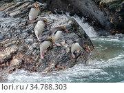Macaroni penguins (Eudyptes chrysolophus). Royal Bay. South Georgia. Стоковое фото, фотограф Jeff Foott / Nature Picture Library / Фотобанк Лори