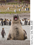 Southern elephant seal (Mirounga leonina) and King penguin (Aptenodytes patagonicus) colony at Salisbury Plain, South Georgia. Medium repro only. Стоковое фото, фотограф Jeff Foott / Nature Picture Library / Фотобанк Лори