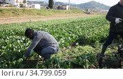 Skilled male farmers hand harvesting ripe spinach cultivars on farm plantation. Стоковое видео, видеограф Яков Филимонов / Фотобанк Лори