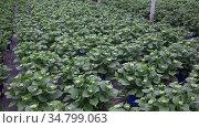 Hydrangea or hortensia. Field of potted green bushes with flower buds in hothouse. Стоковое видео, видеограф Яков Филимонов / Фотобанк Лори