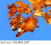 Autumn maple leaves on background of blue sky. Стоковое фото, фотограф Валерия Попова / Фотобанк Лори