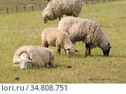 Schafe, schaf, herde, schafherde, wiese, weide, gras, grasen, nutztier... Стоковое фото, фотограф Zoonar.com/Volker Rauch / easy Fotostock / Фотобанк Лори