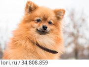 Pomeranian Spitz. Стоковое фото, фотограф Zoonar.com/ILIA BLIZNIUK / easy Fotostock / Фотобанк Лори