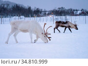 Albino reindeer with massive antlers looking for food in snow, Tromso... Стоковое фото, фотограф Zoonar.com/Pawel Opaska / easy Fotostock / Фотобанк Лори