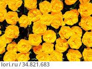 Yellow peony tulips flowerbed shot from above, Keukenhof Gardens in... Стоковое фото, фотограф Zoonar.com/Serghei Starus / easy Fotostock / Фотобанк Лори