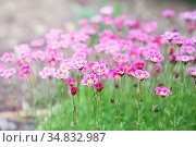 Розовая камнеломка цветет в саду. Выращивание почвопокровных растений. Стоковое фото, фотограф Наталья Осипова / Фотобанк Лори