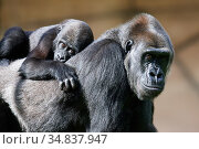 Western lowland gorilla (Gorilla gorilla gorilla) mother carrying... Стоковое фото, фотограф Eric Baccega / Nature Picture Library / Фотобанк Лори