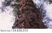 trunk of pine tree in woods. Стоковое видео, видеограф Syda Productions / Фотобанк Лори