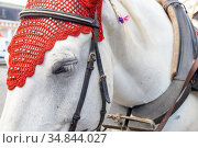 Close-up of the head of a white horse in an elegant harness. Стоковое фото, фотограф Ольга Губская / Фотобанк Лори