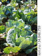 White cabbage in the garden. Close up on Fresh cabbage in harvest field. Cabbage are growing in garden. Organic vegetable on the farm. Agriculture. Стоковое фото, фотограф Nataliia Zhekova / Фотобанк Лори