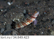 Blotchy Shrimpgoby (Amblyeleotris periophthalma) with fin extended... Стоковое фото, фотограф Colin Marshall / age Fotostock / Фотобанк Лори