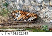 Siberian tiger (P. t. altaica), also known as Amur tiger, sleeps sweetly. Стоковое фото, фотограф Валерия Попова / Фотобанк Лори