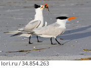 Royal Tern (Thalasseus maxima) in breeding plumage, offering fish to potential mate, Tierra Verde, Florida, USA, April. Стоковое фото, фотограф Lynn M. Stone / Nature Picture Library / Фотобанк Лори