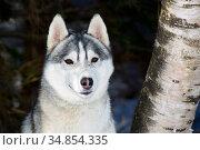 Siberian Husky dog head portrait, Massachusetts, USA. Стоковое фото, фотограф Lynn M. Stone / Nature Picture Library / Фотобанк Лори