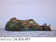Steller sea lions (Eumetopias jubatus) resting on off-shore rocks in the Bering Sea near Verkhoturova Island, Russia. Стоковое фото, фотограф Jenny E. Ross / Nature Picture Library / Фотобанк Лори