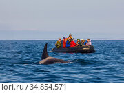 Ecotourists have a close encounter with a curious adult female orca... Стоковое фото, фотограф Jenny E. Ross / Nature Picture Library / Фотобанк Лори