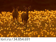 Roe deer (Capreolus capreolus) feeding on dandelion seed heads at... Стоковое фото, фотограф Andy Rouse / Nature Picture Library / Фотобанк Лори