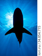 RF - Silhouette of a large Pelagic silky shark (Carcharhinus falciformis) beneath a sunburst. Jardines de la Reina, Gardens of the Queen National Park...  (This image may be licensed either as rights managed or royalty free.) Стоковое фото, фотограф Alex Mustard / Nature Picture Library / Фотобанк Лори