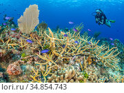 Diver swimming over a coral reef with Staghorn coral (Acropora cervicornis) with Blue chromis (Chromis cyanea) and Spotted scorpionfish (Scorpaena plumieri... Стоковое фото, фотограф Alex Mustard / Nature Picture Library / Фотобанк Лори
