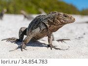Portrait of Cuba iguana (Cyclura nubila) on a tropical beach. Jardines de la Reina, Gardens of the Queen National Park, Cuba. Стоковое фото, фотограф Alex Mustard / Nature Picture Library / Фотобанк Лори