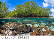 Split level photo of mangrove scenery, with hard corals ( including Goniopora sp.; Heliopora sp; Porites sp.) growing below Red mangrove tree: (Rhizophora... Стоковое фото, фотограф Alex Mustard / Nature Picture Library / Фотобанк Лори