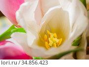 close-up of a tulip with yellow stamens. Стоковое фото, фотограф Анна Гучек / Фотобанк Лори