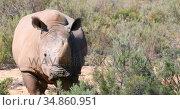 Rhinoceros standing on a grassland 4k. Стоковое видео, агентство Wavebreak Media / Фотобанк Лори