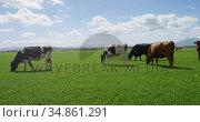 Cattle grazing in the farm 4k. Стоковое видео, агентство Wavebreak Media / Фотобанк Лори