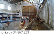 Hen grazing in the chicken coop 4k. Стоковое видео, агентство Wavebreak Media / Фотобанк Лори