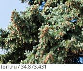Большое количество шишек на ветвях ели. Стоковое фото, фотограф E. O. / Фотобанк Лори