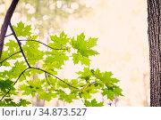 Maple leaves shined through. Стоковое фото, фотограф Азат Хайрутдинов / Фотобанк Лори