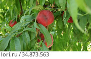 Ripe Saturn peaches growing on tree in orchard. Стоковое видео, видеограф Яков Филимонов / Фотобанк Лори