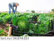 Crop of organic savoy cabbage in crate. Стоковое фото, фотограф Яков Филимонов / Фотобанк Лори
