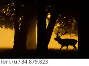 Red deer (Cervus elaphus) stag roaring, silhouetted under trees at sunrise. Bushy Park, London, UK. September. Стоковое фото, фотограф Oscar Dewhurst / Nature Picture Library / Фотобанк Лори