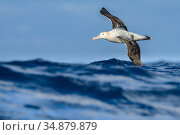 Wandering albatross (Diomedea exulans) flying on the open ocean, Drake passage, Antarctic Peninsula, Antarctica. Стоковое фото, фотограф Jordi Chias / Nature Picture Library / Фотобанк Лори